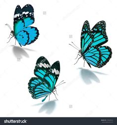 Three Blue Monarch Butterfly Isolated On White Background Стоковые фотографии 278409524 : Shutterstock