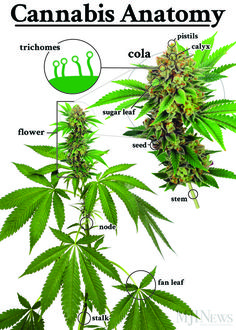 Buy top quality Cannabis Seeds from Seedsman. Our range of marijuana seeds is one of the largest online, with more than 3000 varieties of Cannabis Seeds. Cannabis Growing, Cannabis Oil, Growing Weed, Medical Marijuana, Marijuana Facts, Ganja, Buy Weed, Aquaponics, Gardens