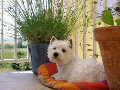 7 chiots westies > Acheter un chiot West Highland White Terrier > 88 - Vosges France - Eleveurs-Online.com