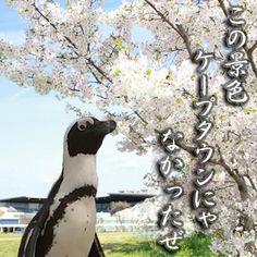 京都水族館 @Kyoto_Aquarium  ケープペンギンが桜を見て一句 「この景色 ケープタウンにゃ なかったぜ」… 詳細は京都水族館Facebookページへ>>https://www.facebook.com/Kyoto.aquarium.official?fref=ts … pic.twitter.com/4Fhpl8qUiM