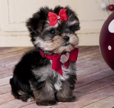 Tiny Teacup Morkie