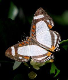 Lycaenidae. Nymphideum onaeum