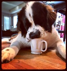 He needs his coffee ☕️ Guinness St. Bernard 18m/o puppy dog love