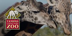 Visit Tampa's Lowry Park Zoo, a globally recognized accredited zoological society in Tampa, Florida. The 56-acre zoo offers rides, animals and fun.