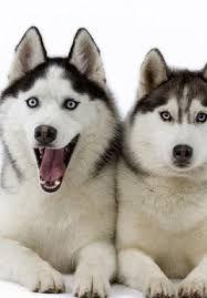 Resultado de imagem para imagens de lobos