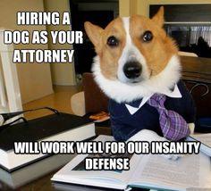 corgi attorney!!!