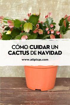 Aprende a cuidar y propagar el Cactus de navidad - Schlumbergera - cactus de jungla, Santa Teresita. Cactus Y Suculentas, Ideas, Easter Cactus, Christmas Cactus, Hanging Succulents, Succulent Plants, Sprinkler, Hanging Flower Pots, Thoughts