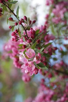 Crab Apple flowers are for people who feel like strong disgust of their bodies.