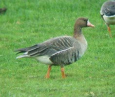 Anser albifrons, Greater white-fronted goose