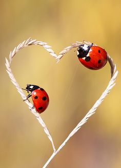 ladybug love by mehmet karaca on Heart In Nature, Heart Art, Love Heart, Beautiful Creatures, Animals Beautiful, Cute Animals, Beautiful Bugs, Beautiful Images, Fotografia Macro