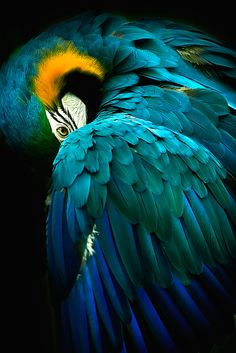 'Bashful' Poster by Cheri McEachin – Parrot Tropical Birds, Exotic Birds, Colorful Birds, Exotic Pets, Most Beautiful Birds, Pretty Birds, Beautiful Creatures, Animals Beautiful, Ara Bleu