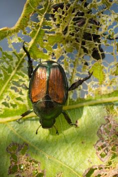 Learn how to stop japanese beetles from destroying plants, bushes and trees. Simple methods to help keep beetles from damaging your landscape. Killing Japanese Beetles, Homemade Bug Spray, Planting Vegetables, Vegetable Garden, Summer Plants, Beneficial Insects, Weed Control, Ornamental Grasses, Water Features