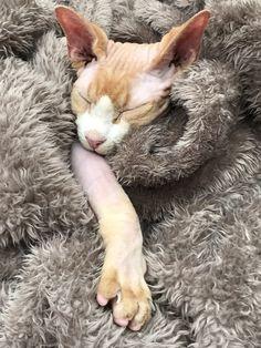 Zino the lazy cat ❤️