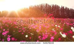 cosmos field in the park with big tree among the blossom flower
