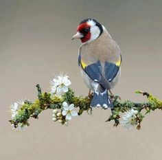 "**Goldfinch on Sloe Blossom, by Dean Mason. The details are just amazing! (It is probably a finch, but not a ""Goldfinch"" by American definition) Kinds Of Birds, All Birds, Little Birds, Love Birds, Angry Birds, Pretty Birds, Beautiful Birds, Animals Beautiful, Cute Animals"