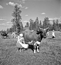 vintage everyday: Black and White Photos of Daily Life in Finland in 1941 Helsinki, Vintage Photographs, Vintage Photos, Cow Photos, Pictures, Meanwhile In Finland, History Of Finland, Creepy Houses, Cow Art