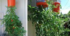 Pestovanie paradajok hore nohami. S t?mto n?vodom si ich m?ete vypestova? hoci aj na balk?ne! Zahradk?rstvo, raj?iny, kreat?vny n?pad, v?hody