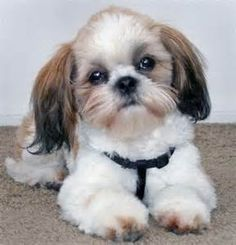 Shih Tzu hair cut. Puppy clip with long ears.