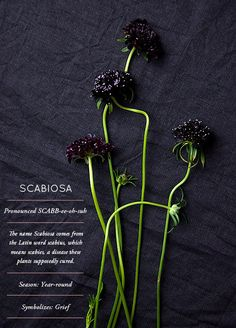 "scabiosa. the dark black variety is my favorite, though the light-colored ones are pretty in their own right. I can't wait to grow this from seed! this series from design sponge has some really pretty elements, and fun information (that would make hilarious add-ins; ""this plant symbolizes grief and is supposed to cure scabies, so when I saw it obviously I thought of you! Happy VD!"")"