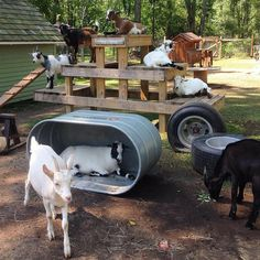 Did you know that our CountyLine stock tanks can be used for goat bunk beds? The Goats of Anarchy show us how it's done. :)