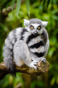 Ring tailed lemur by Mathias Appel