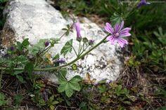 Mauve sylvestre (malva sylvestris), dont on repère d'abord les fleurs et dont on oublie que les feuilles sont bonnes aussi
