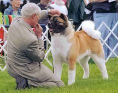BIS BISS Ch. Nakodo's Reign Of Glory Japanese Akita, American Akita, Akita Dog, English Mastiff, Shiba Inu, Dog Owners, Reign, Dog Breeds, Pets