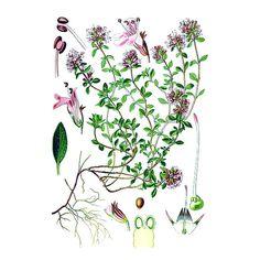 Chémotypes : linalol / Nom botanique : thymus vulgaris CT : linalol / Origine : France (Haute Provence) / Partie distillée : plante fleurie