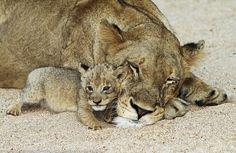 """""""4 Week Old Lion Cub"""" by Marius Coetzee"""