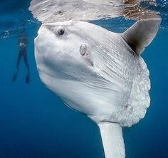Ocean Sunfish (Mola mola) are the largest bony fish in existence, measuring up to across and weighing lbs. Their favorite food is jellyfish. They have no tail. At night they often come to the ocean's surface for hours at a time, barely moving. Underwater Creatures, Underwater Life, Ocean Creatures, Beautiful Creatures, Animals Beautiful, Fauna Marina, Water Animals, Wale, Tier Fotos