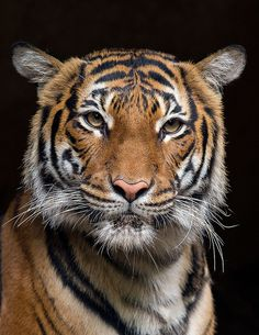 Connor isn't the only tiger with a future in modeling. Tiga is giving him a run for his money.