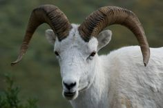 Dall sheep | little toothy