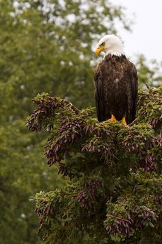 Bald Eagle at Katmai National Park in Alaska by brettnickeson, via Flickr