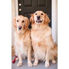 Golden Retriever Brothers