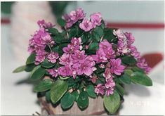 Foster Trail (8760) 10/28/1998 (H. Pittman) Semidouble fuchsia. Medium green, plain. Semiminiature trailer (DAVS 1529, TX Hyb)