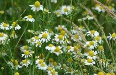 Tanácsok gyógynövények gyűjtéséhez | Tudatos Vásárló