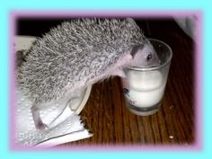 Baby Hedgehog is Thirsty