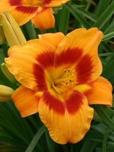 The Many Faces of Daylilies | HGTV