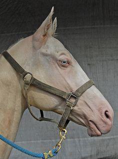 Habib Shael, a perlino Akhal Teke stallion.
