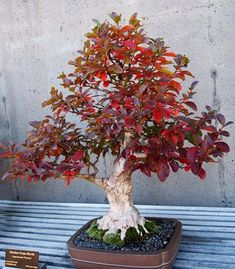 Crepe Myrtle bonsai showing off nice autumn color. Perhaps you can see why these are such favorites. Indoor Bonsai, Bonsai Plants, Bonsai Garden, Garden Trees, Garden Plants, Bonsai Trees For Sale, Bonsai Tree Types, Party Fiesta, Bonsai Styles