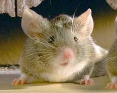 Mice can really sing! - News - Bubblews