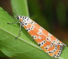 Utetheisa ornatrix moth