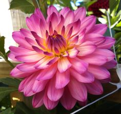 """Dahlia 'Melissa' - This variety appears to glow in the center, it is certain to draw attention. Blooms measure 4"""" across. Height 5'."""
