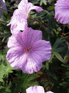 "Geranium Sanguineum Hardy perennial ""New Hampshire/"" 3 bare root plants magenta"