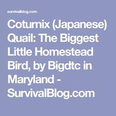 Coturnix (Japanese) Quail: The Biggest Little Homestead Bird, by Bigdtc in Maryland - SurvivalBlog.com