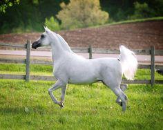 Zahara El Marwan [*Marwan Al Shaqab × *Zagrobla] Photo by Stuart VestyThe Arabian Horse - Drinkers of the Wind