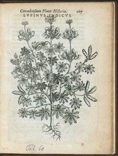 Lupinus indicus. (1635) vintage illustration