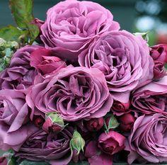 Heirloom Roses features floribunda roses, rose gardening and plants Garden Care, Dry Garden, Floribunda Roses, Shrub Roses, Unique Roses, Beautiful Roses, Pretty Roses, Fragrant Roses, Belle Plante