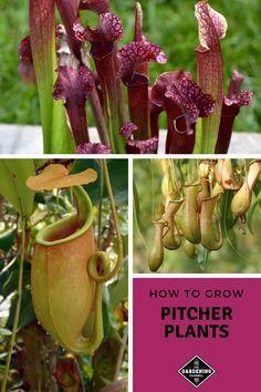 How To Grow Pitcher Plants Pitcher Plant Pitcher Plant Care Plants