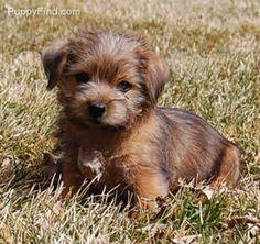 norfolk terrier adoption